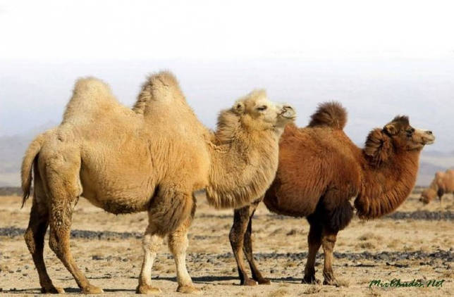 Верблюд 1